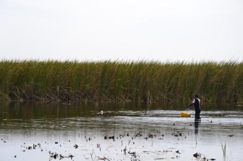 Du biocharbon de Typha en Mauritanie et au Sénégal